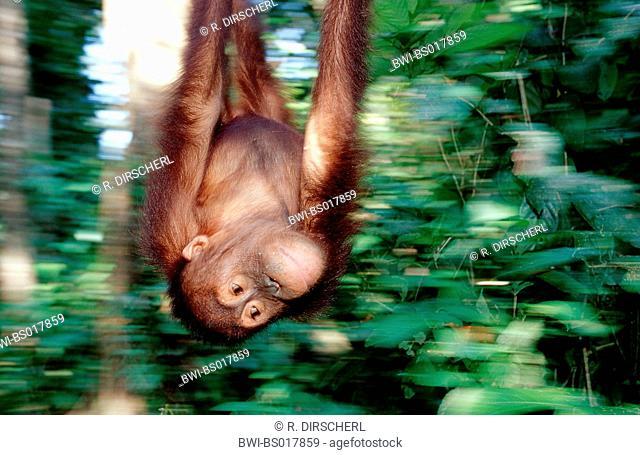 orang-utan, orangutan, orang-outang (Pongo pygmaeus), young male, swinging at rope, head first, Malaysia, Sabah, Sepilok