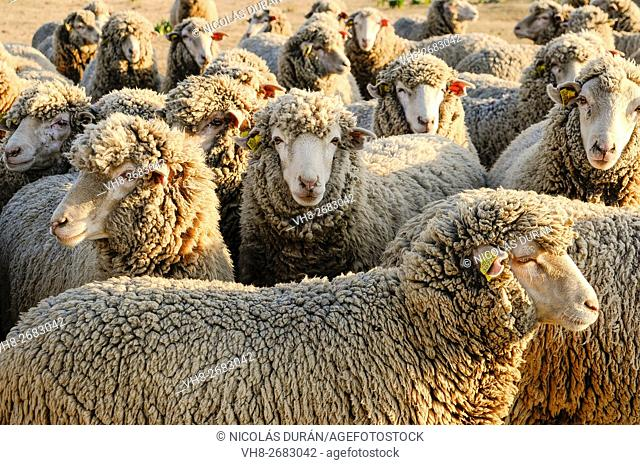 Flock of merino sheep. Sierra de San Pedro. San Vicente de Alcantara. Province of Badajoz. Extremadura. Spain