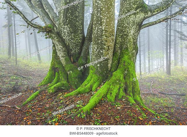 common beech (Fagus sylvatica), thick beech trunks in a forest with lichens, Switzerland