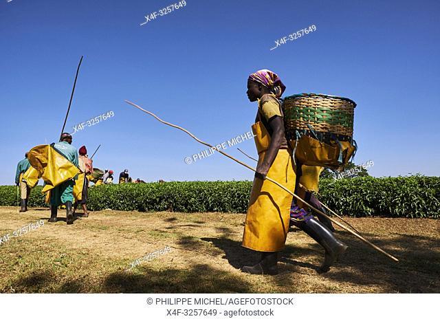 Kenya, Kericho county, Kericho, cueillette du thé / Kenya, Kericho county, Kericho, tea picker picking tea leaves
