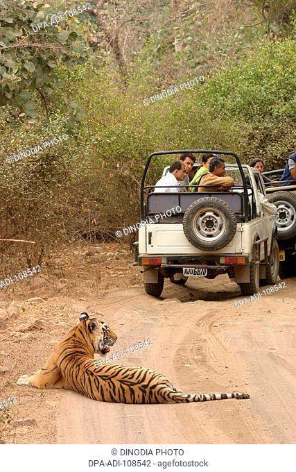 People on safari of Tiger Panthera tigris sitting in Ranthambore Tiger Reserve National Park ; Rajasthan ; India