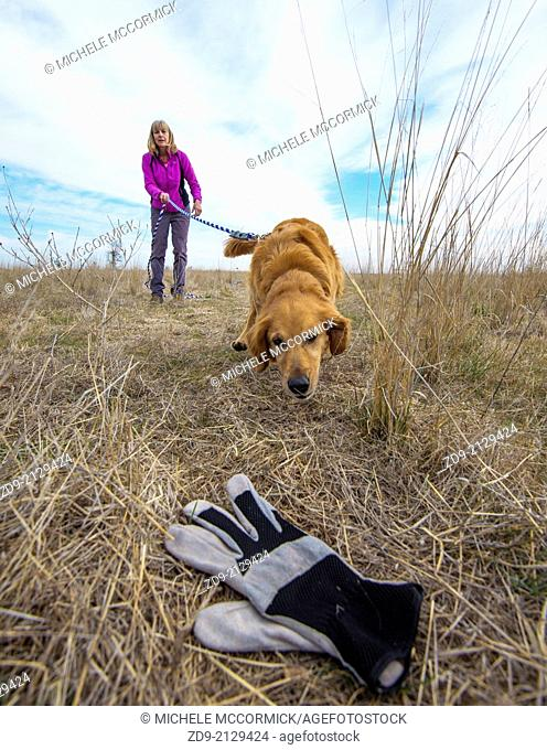 A golden retriever is trained in tracking