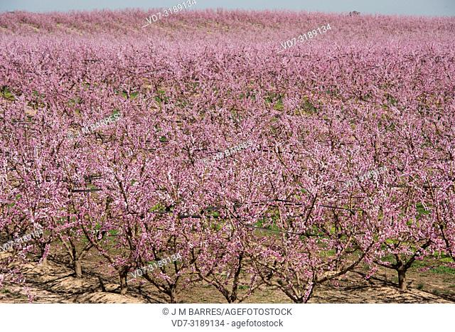 Peach (Prunus persica or Persica vulgaris) is a deciduous tree native to China. It is widely cultivated for its edible fruits (drupes)