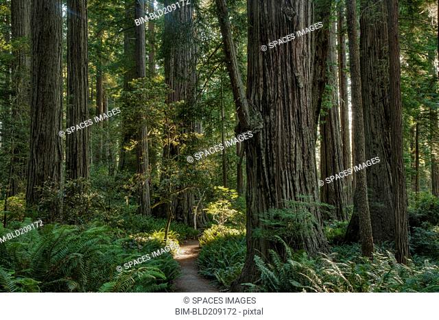 Trees growing in state park forest, California, United States