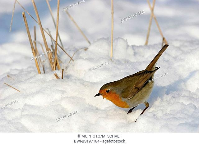 European robin (Erithacus rubecula), in winter with snow, Germany, Rhineland-Palatinate