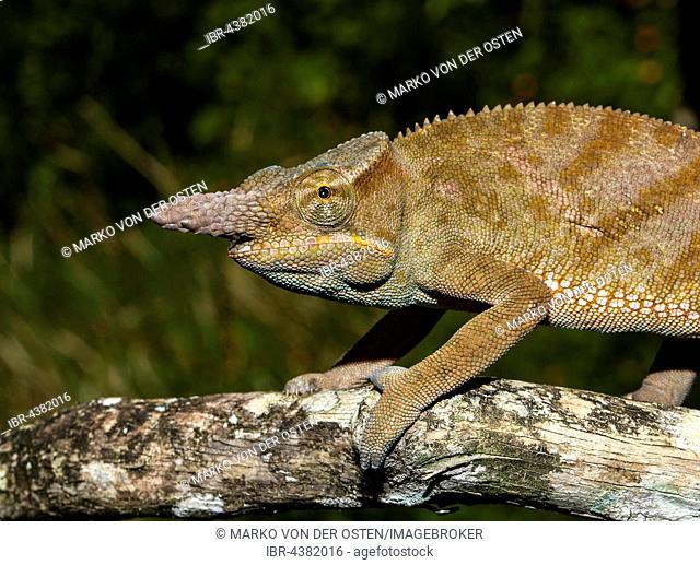Madagascar two-horned chameleon (Furcifer bifidus), male, Andasibe National Park, Alaotra-Mangoro, Madagascar