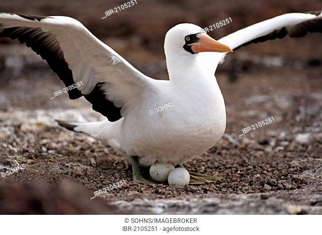 Nazca Booby (Sula granti), adult brooding on a nest with eggs, Galapagos Islands, Ecuador, South America