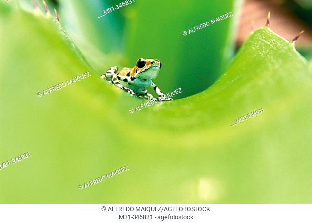 Strawberry Poison Dart Frog (Dendrobates pumilio). Bocas del Toro archipelago, Panama