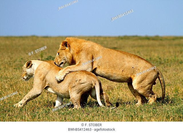 lion (Panthera leo), mating foreplay, Kenya, Masai Mara National Park