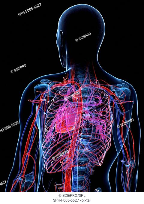Male cardiovascular system, computer artwork