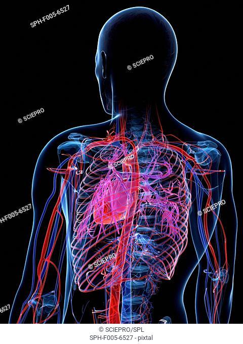 Male cardiovascular system, computer artwork