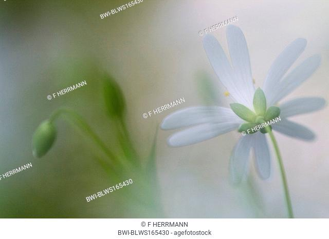 easterbell starwort, greater stitchwort Stellaria holostea, blossom from back side, Germany, Saxony