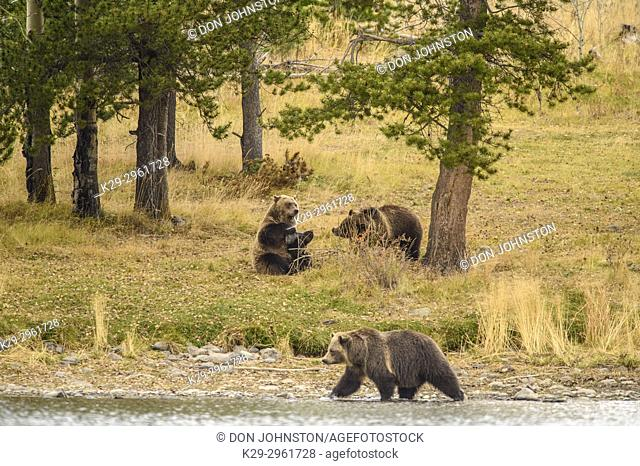 Grizzly bear (Ursus arctos)- Scratching back and rubbing against the trunk pf a pine tree, Chilcotin Wilderness, BC Interior, Canada