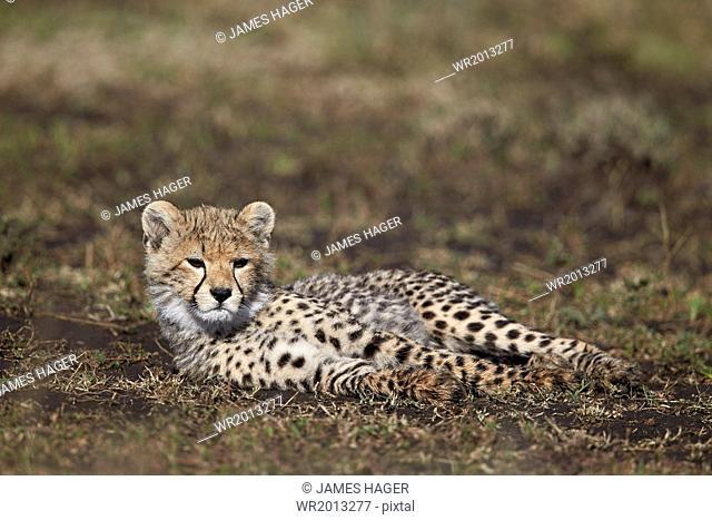 Cheetah (Acinonyx jubatus) cub, Ngorongoro Conservation Area, UNESCO World Heritage Site, Serengeti, Tanzania, East Africa, Africa
