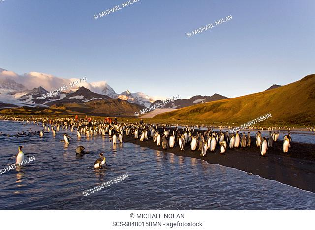 Sunrise on the king penguin Aptenodytes patagonicus breeding and nesting colonies at St Andrews Bay on South Georgia Island