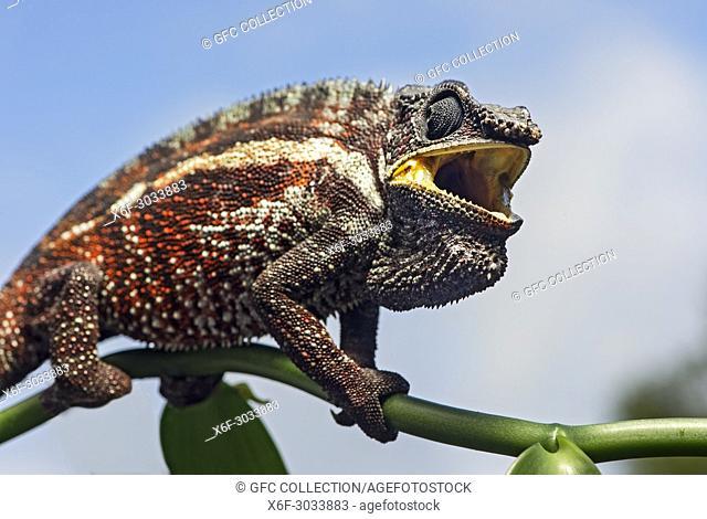 Panther chameleon (Calumma parsonii), (Chameleonidae), Ankanin Ny Nofy, Madagascar