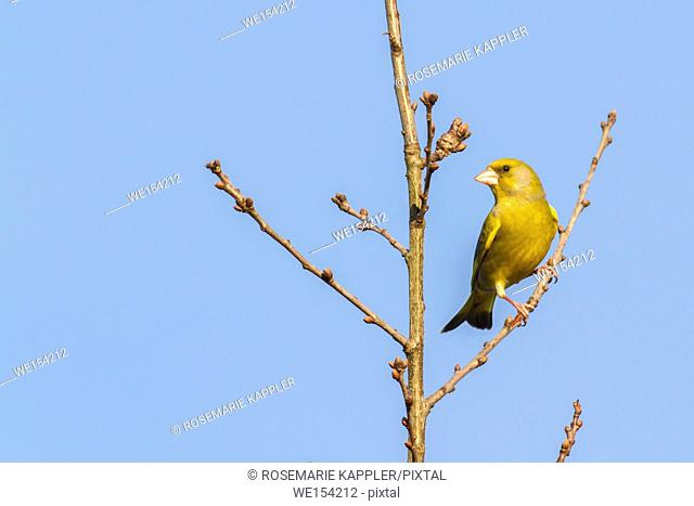 Germany, Saarland, Homburg - A common greenfinch is sitting on a branch