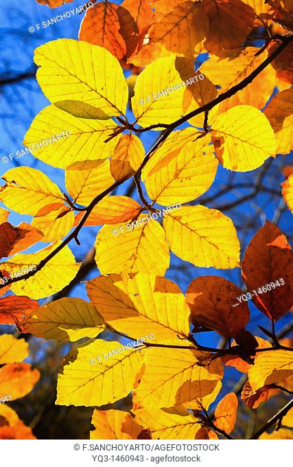Beech tree leaves, backlit