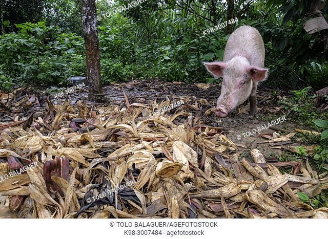 cerdo, Tesoro Chiquito, La Taña, Franja Transversal del Norte , departamento de Quiché, Guatemala