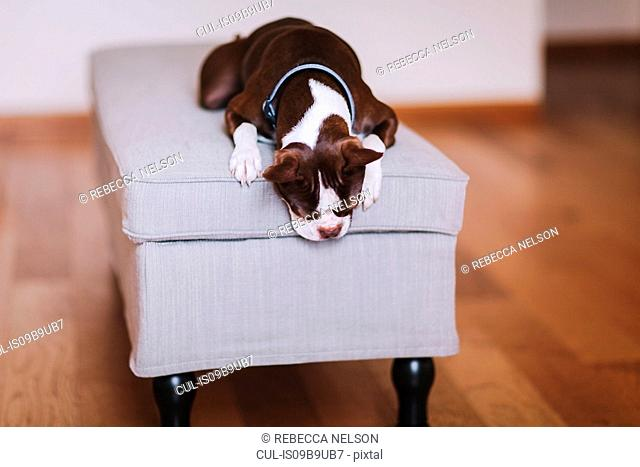 Boston terrier dog relaxing on foot stool