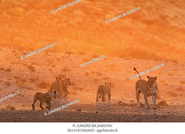 African Lion (Panthera leo). Female with four cubs in the light of the early morning, walking. Kalahari Desert, Kgalagadi Transfrontier Park, South Africa