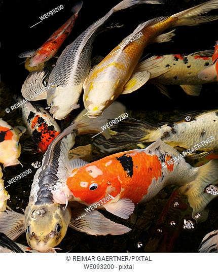 Mass of colorful Koi fish coming to the surface of the pond water at night to feed