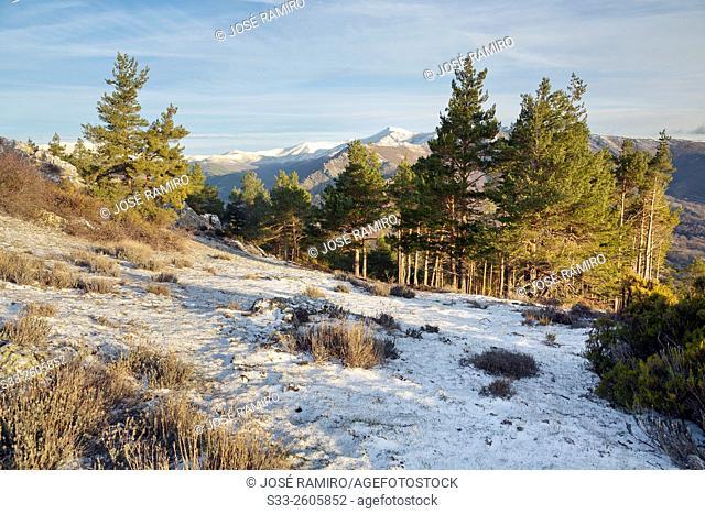 Pines in the Picayuelas. Sierra Norte. Montejo de la Sierra. Madrid. Spain. Europe