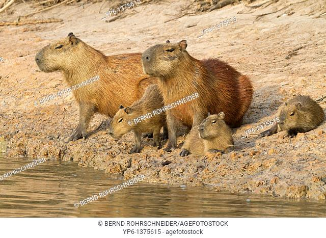 Capybaras Hydrochoerus hydrochaeris, family with young on river bank, Paraguay River, Pantanal, Brazil