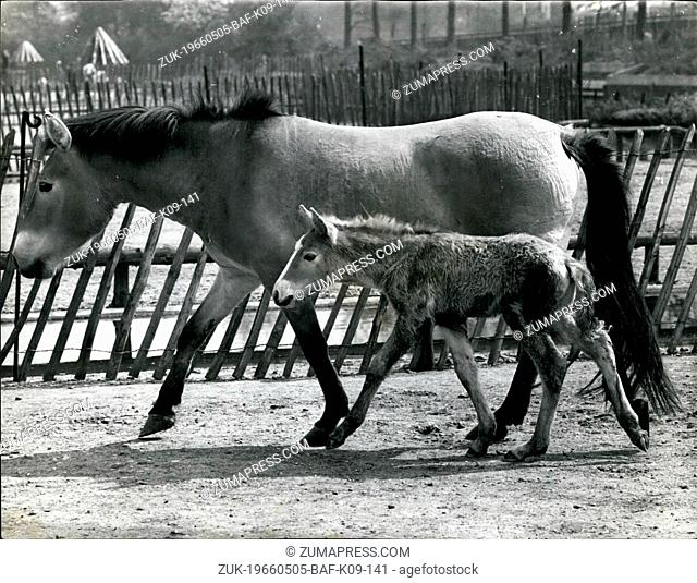 May 05, 1966 - The First Mongolian Wild Horse Foal To Be Born At The London Zoo For 36 years: Making its debut at the London zoo today was the rare Przewalski...