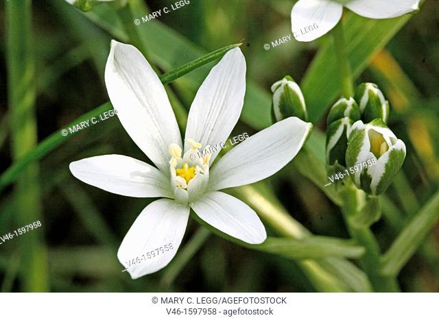 Open Pyrenes Star of Bethlehem, Ornithogalum umbellatum, Caryophyllaceae  Sleepydick  Single open flower with cluster of buds  Small white wild flower  From...