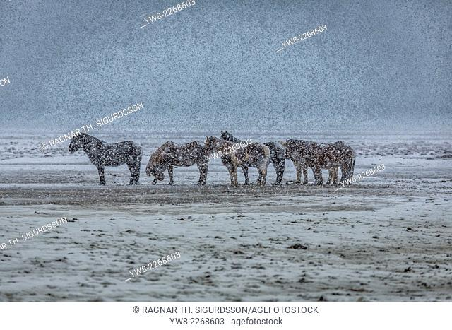 Icelandic Horses in a snowstorm, Iceland
