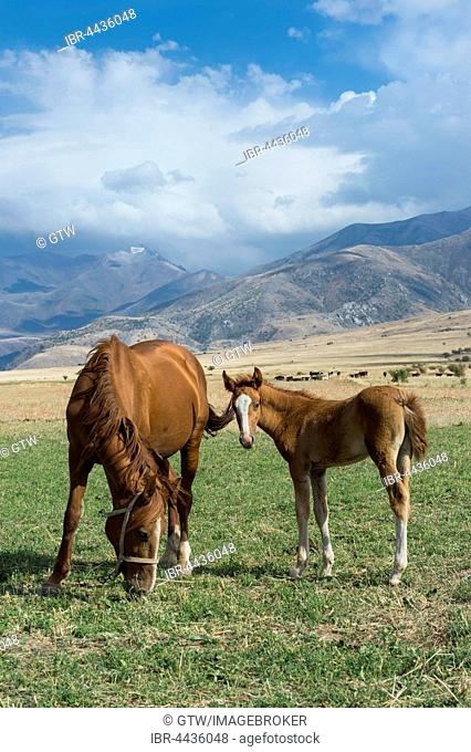 Mare with its foal, Gabagly national park, Shymkent, South Region, Kazakhstan