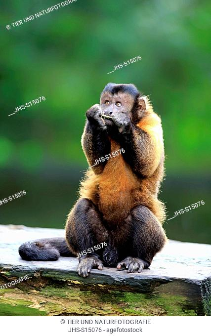 Brown Capuchin, tufted capuchin, black-capped capuchin, (Cebus apella), adult feeding, South America