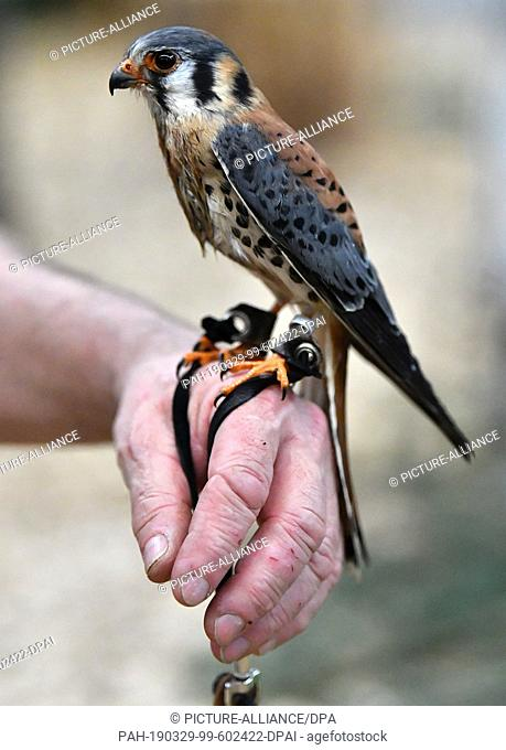 """29 March 2019, Thuringia, Erfurt: A falconer shows an American kestrel at a stand at the fairs """"""""Horse Riding - Hunting - Fishing"""""""" and """"""""Forest³"""""""""""