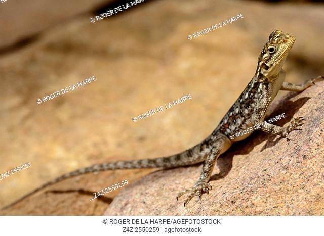 Common agama, red-headed rock agama, or rainbow agama (Agama agama) female. Ruaha National Park. Tanzania