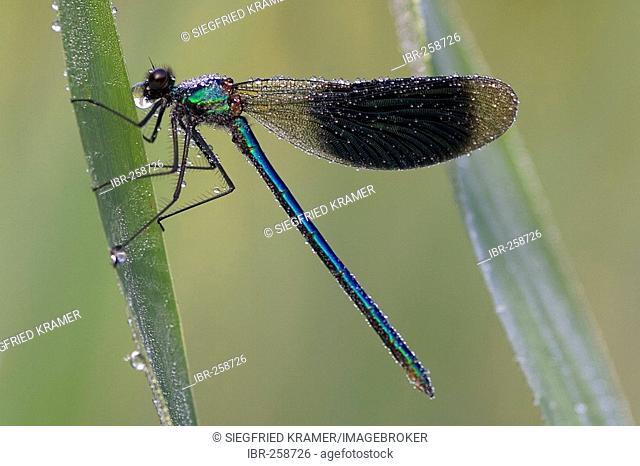 Male Banded Demoiselle (Calopteryx splendens)
