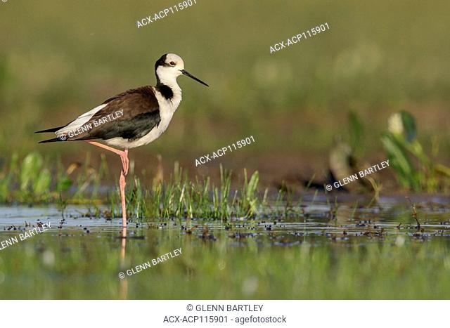 Black-necked Stilt (Himantopus mexicanus) perched on the ground in the Pantanal region of Brazil