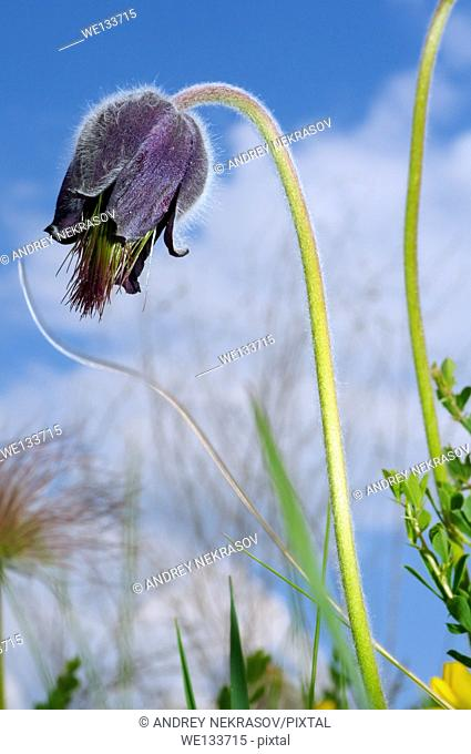 Eastern pasqueflower (Pulsatilla patens), Ukraine, Eastern Europe