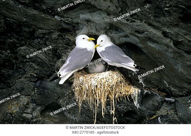 Black-legged kittiwake (Rissa tridactyla), colony in the cliffs of the island Colonsay in Scotland. Europe, Central Europe, Great Britain, Scotland, Colonsay