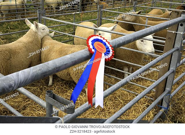 A medal's sheeps at annual agricultural shows, Orkney, Scotland, Highlands, United Kingdom