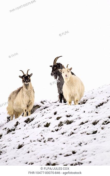 Feral Goat (Capra hircus) three adults, standing on snow covered hillside, Cairngorm N.P., Highlands, Scotland, December