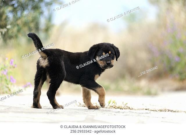 Side view of a Rottweiler puppy looking at camera