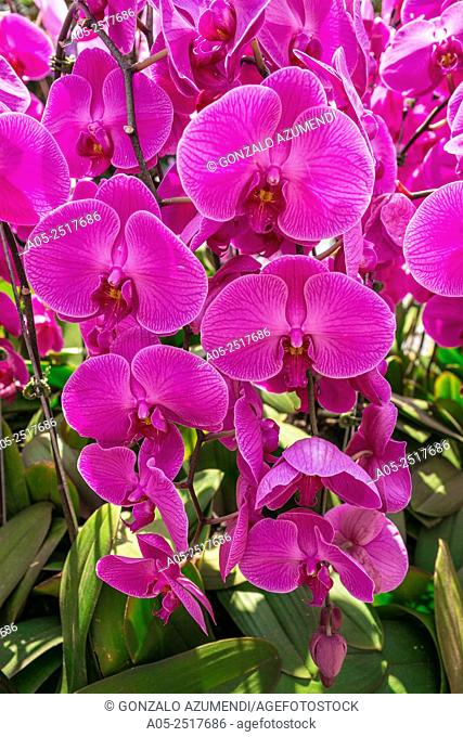 Orchids, National Orchid Garden. Botanicals Garden. Singapore. Asia