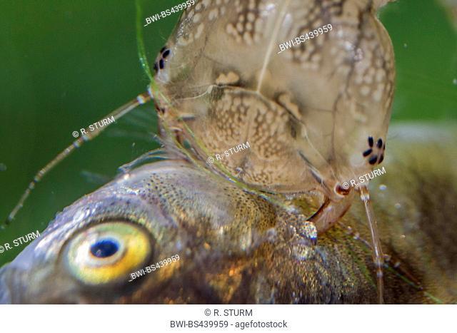 Great diving beetle (Dytiscus marginalis), larva sucking a fish, Germany, Bavaria