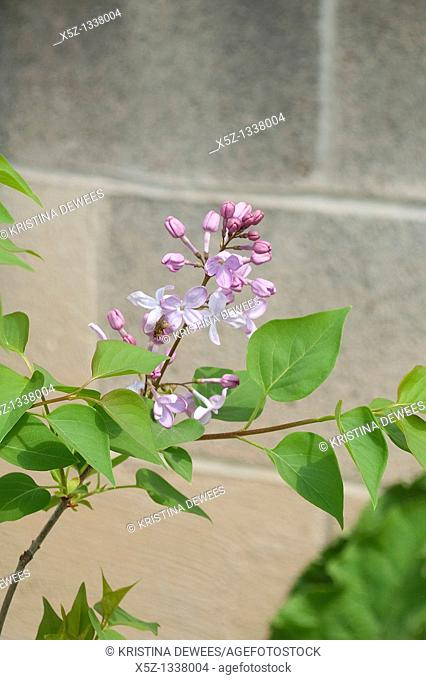 A common lilac beginning to bloom in front of a cinderblock wall