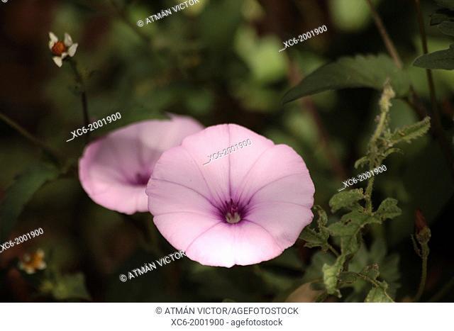 Ipomoea indica or Campanilla