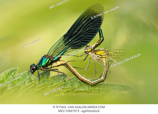 Banded demoiselle (Calopteryx splendens). Male and female mating