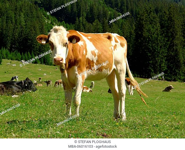 Young cattle, brown and white mottled in the Gaistal, Tyrol