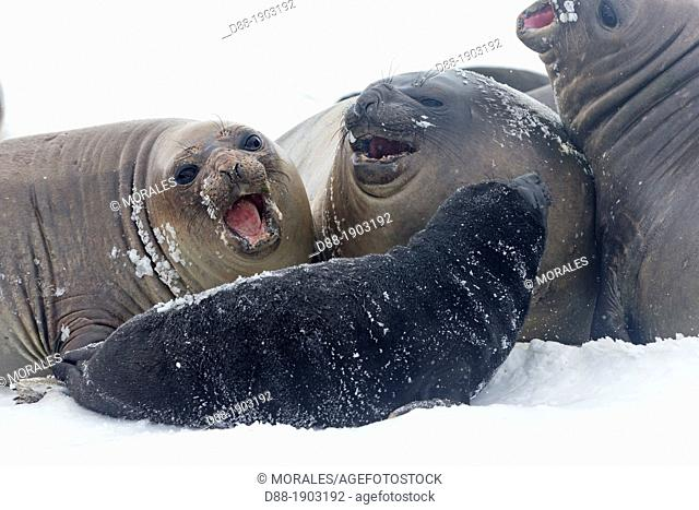 Antarctic, South Georgia, Salisbury plains, Southern Elephant Seal, Mirounga leonina, mother and new born baby