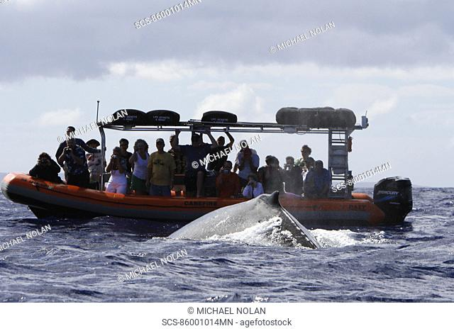 Humpback whale Megaptera novaeangliae approaching commercial whale watching boats in the AuAu Channel off Lahaina, Maui, HAwaii Pacific Ocean No model or...